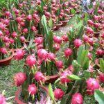 ডুমুরিয়ায় 'ড্রাগন ফল' চাষে সফল কৃষক শাহিনুর